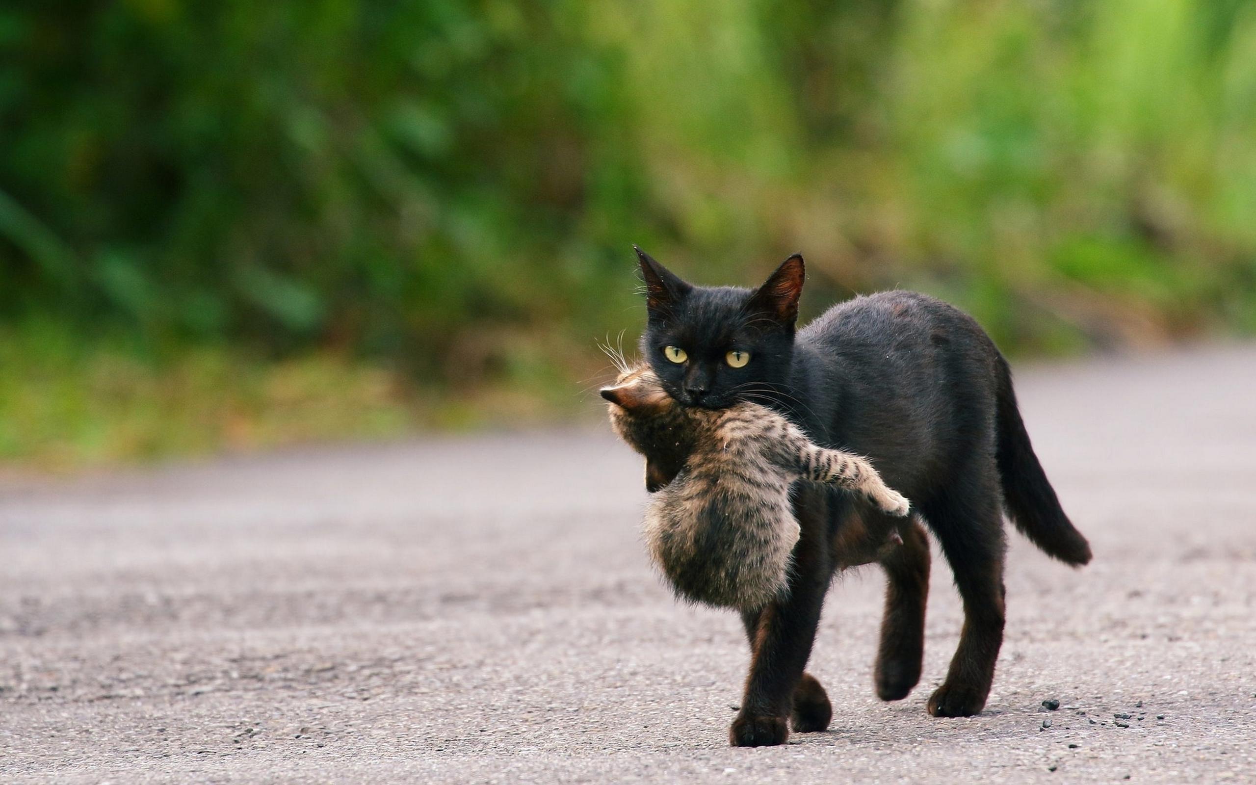 Black Cat Carrying Kitten   Wallpapers Share