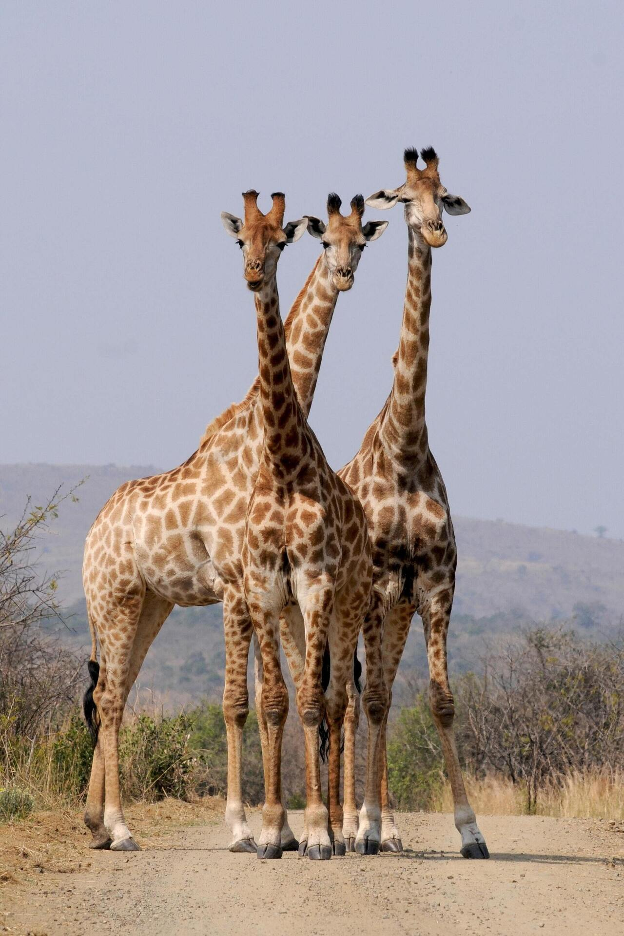 3 Giraffe Mobile Pic Download