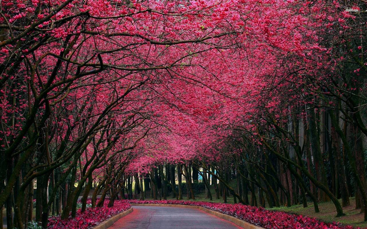 Beautiful Pink Trees Between Road