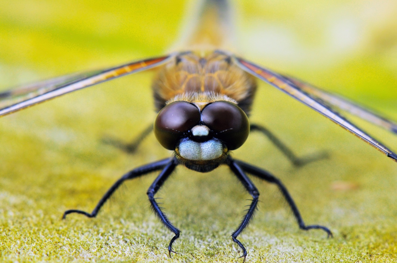 Four Spotted Dragonfly Macro Photography