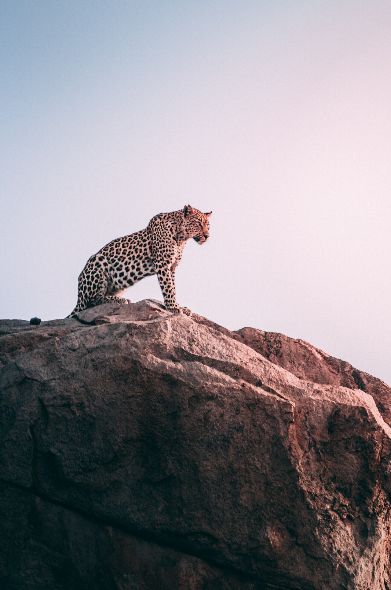 Leopard At Hill