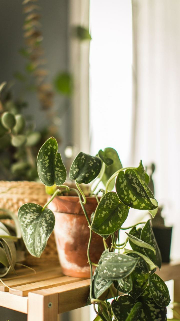 Money Plant at Home