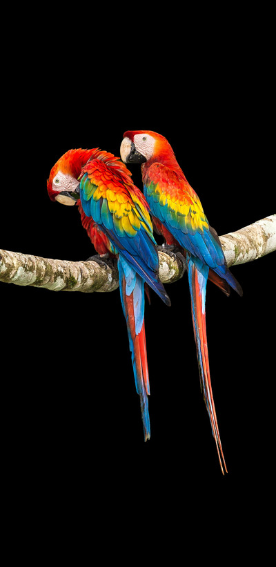 2 Colorful Macaw
