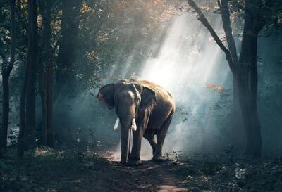 A Wild Elephant in Forest