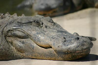 Alligator Face Image