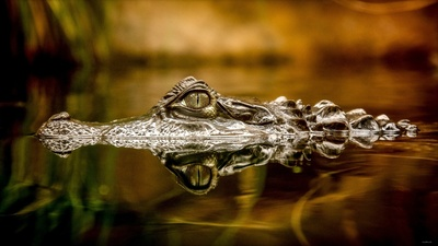 Alligator in Water HD Photo