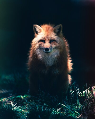 Angry Fox at Night in Forest