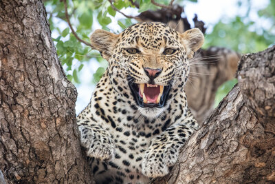Angry Leopard on Tree Wallpaper