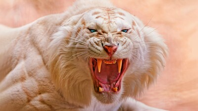 Angry White Tiger 4K