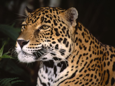 Animal Leopard Pic