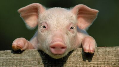 Animal Little Pig Closeup Face