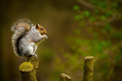 Animal Squirrel on Wood Photography