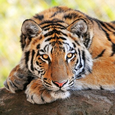Animal Tiger Image