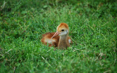 Baby Crane Bird in Grass HD Photo