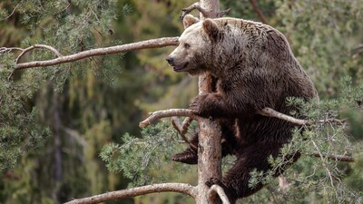Bear Animal Sitting on Tree