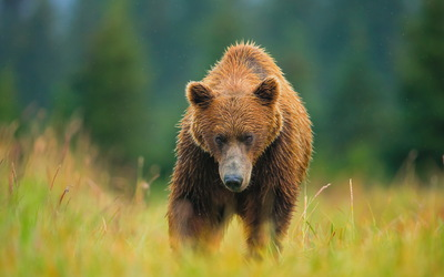 Bear Animal Walking HD Wallpaper