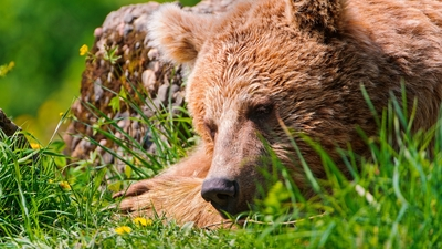 Bear Lying on Grass