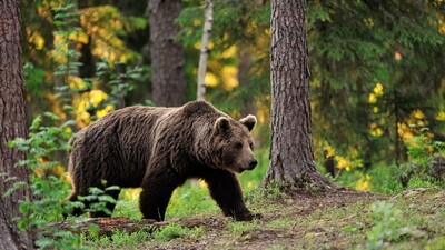 Bear Walking in Forest