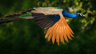 Beautiful Flying Peacock Photo
