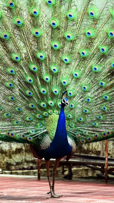 Beautiful Peacock Opening Its Feathers
