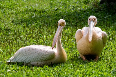Beautiful Pelicans on Grass