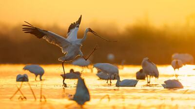 Beautiful Siberian Cranes Bird Photography