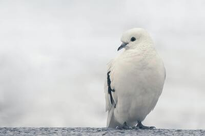 Beautiful White Pigeon on Trunk HD Wallpaper