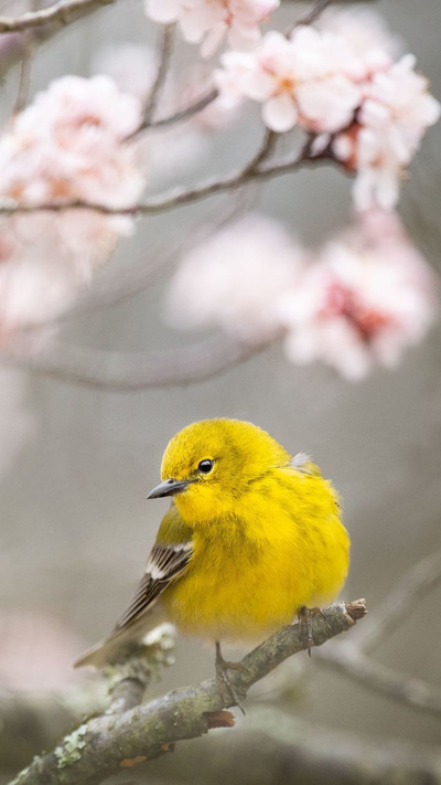 Beautiful Yellow Sparrow