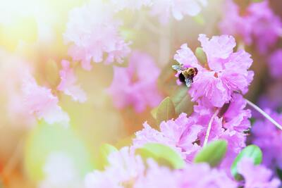 Bee on Pink Flower 4K Download
