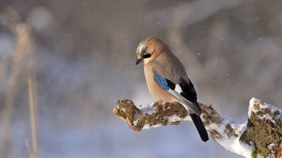 Bird Jay Sitting On Branch During Snowfall