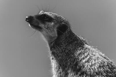 Black and White Photography of Meerkat Animal
