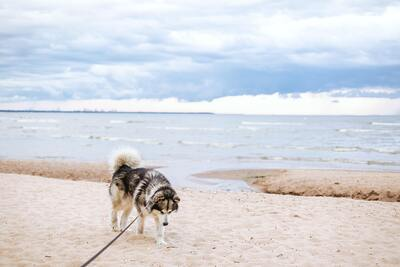 Black And White Siberian Husky on Beach Shore