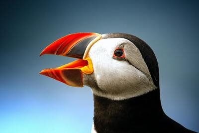 Black Atlantic Puffin with Open Beak Wallpaper
