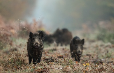 Black Pig Animal Pics