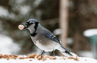 Blue Jay Bird Eating Food in Snow