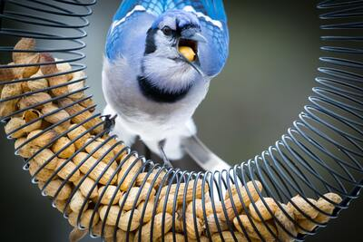 Blue Jay Bird Eating Food