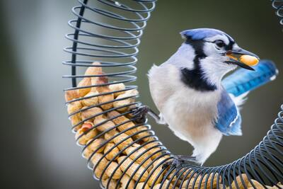 Blue Jay Bird Eating Nuts 5K Pic