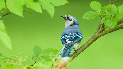 Blue Jay Bird Photo