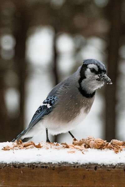 Blue Jay Standing in Snow