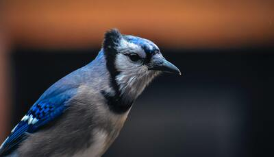 Blue Jay With Pointed Beak on Blurred Background