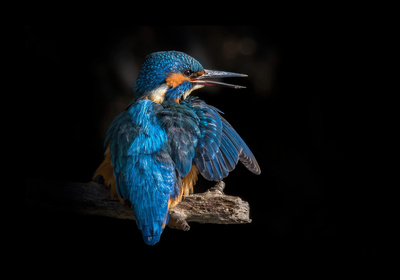 Blue Kingfisher Bird at Night Photography