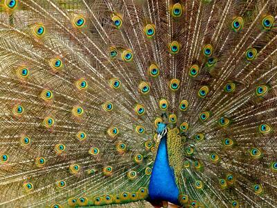 Blue Peacock Image