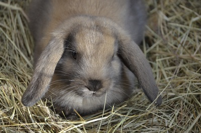 Brown Cute Rabbit Photo