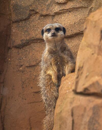 Brown Meerkat Standing on Wall
