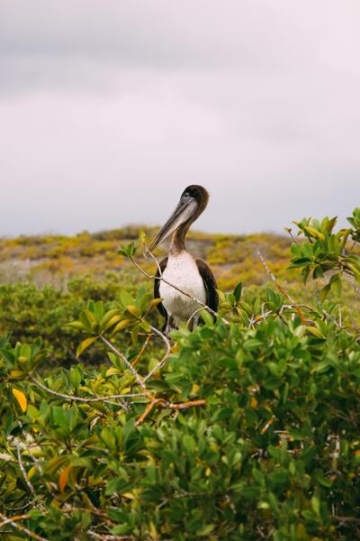 Brown Pelican Bird Standing Photo