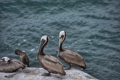 Brown Pelican Birds HD Photo