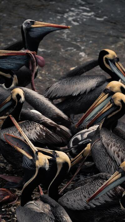 Brown Pelican Birds Photo