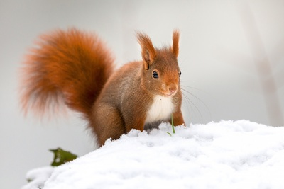 Brown Squirrel Animal Photo