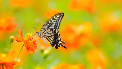 Butterfly Feeding From Flower Wallpaper