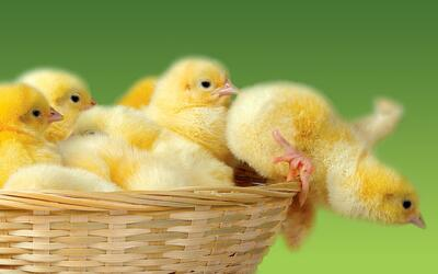 Chick Falling From Basket